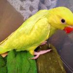 Ожерелый попугай