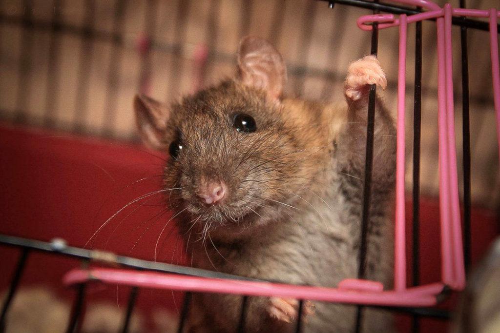 Декоративная мышь типа рекс