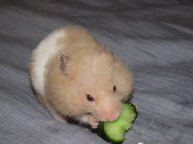 Хомячок ест огурчик