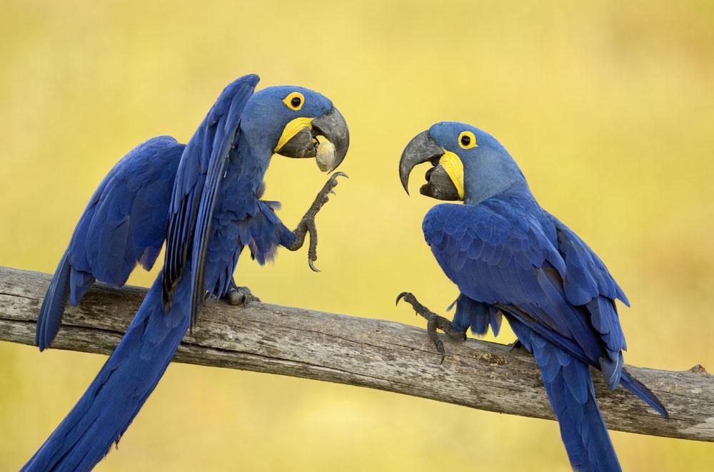 Какие попугаи разговаривают лучше всех: говорящие породы попугаев