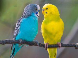 Приметы, по которым можно узнать возраст волнистого попугая
