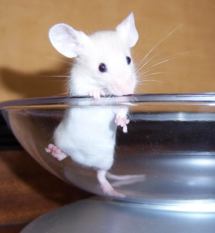 Белая мышь рекс