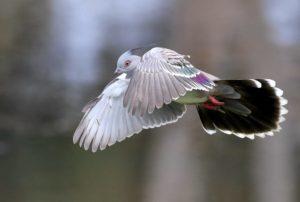 pigeon1-300x202.jpg