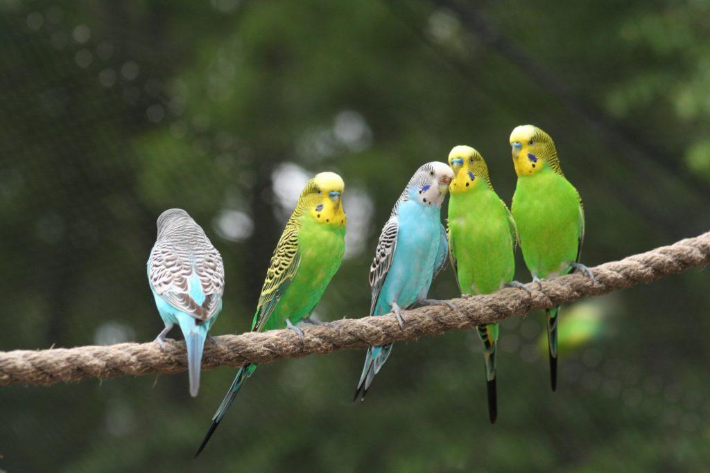 Красивые волнистые попугаи