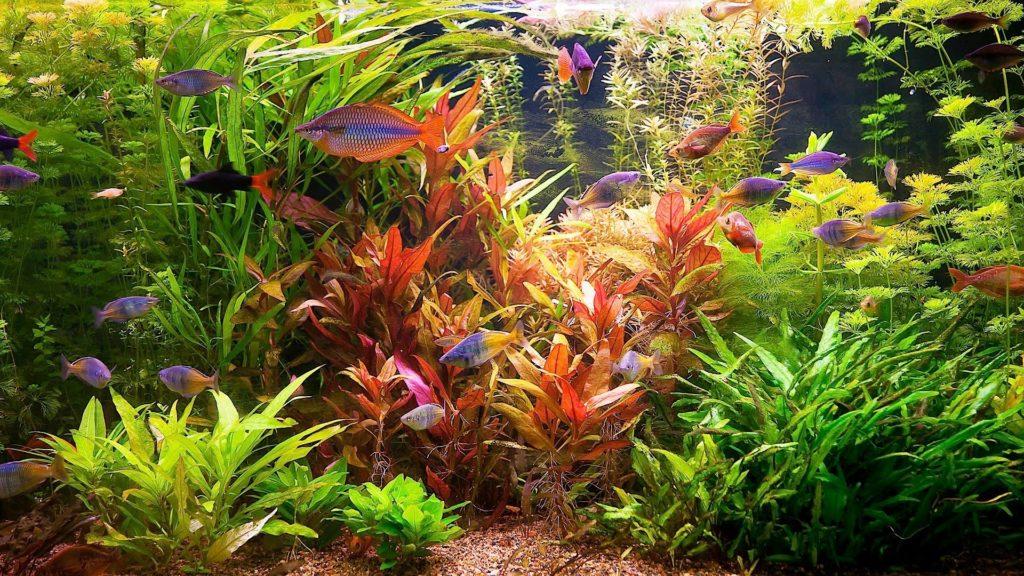 Красные и зелёные водоросли в аквариуме