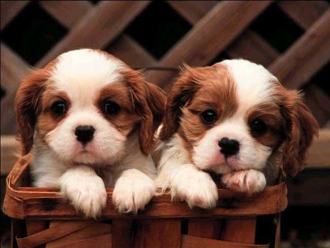 Эклампсия лечение у собак