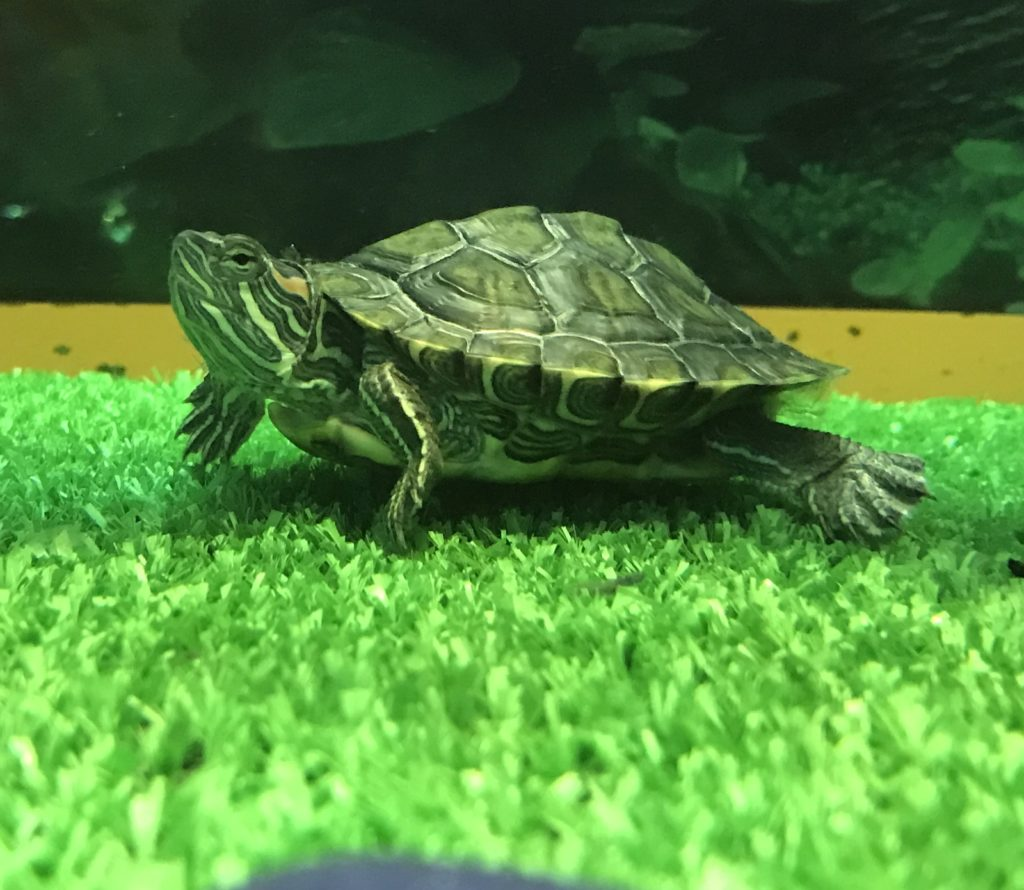 Красноухая черепаха в кавариуме