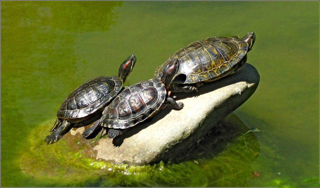 Красноухие черепахи на солнце