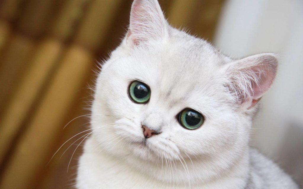 Сколько грамм корма нужно кошке в день  нормы сухого и влажного типа питания