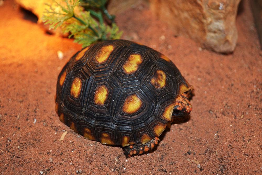 Угольная красная черепаха