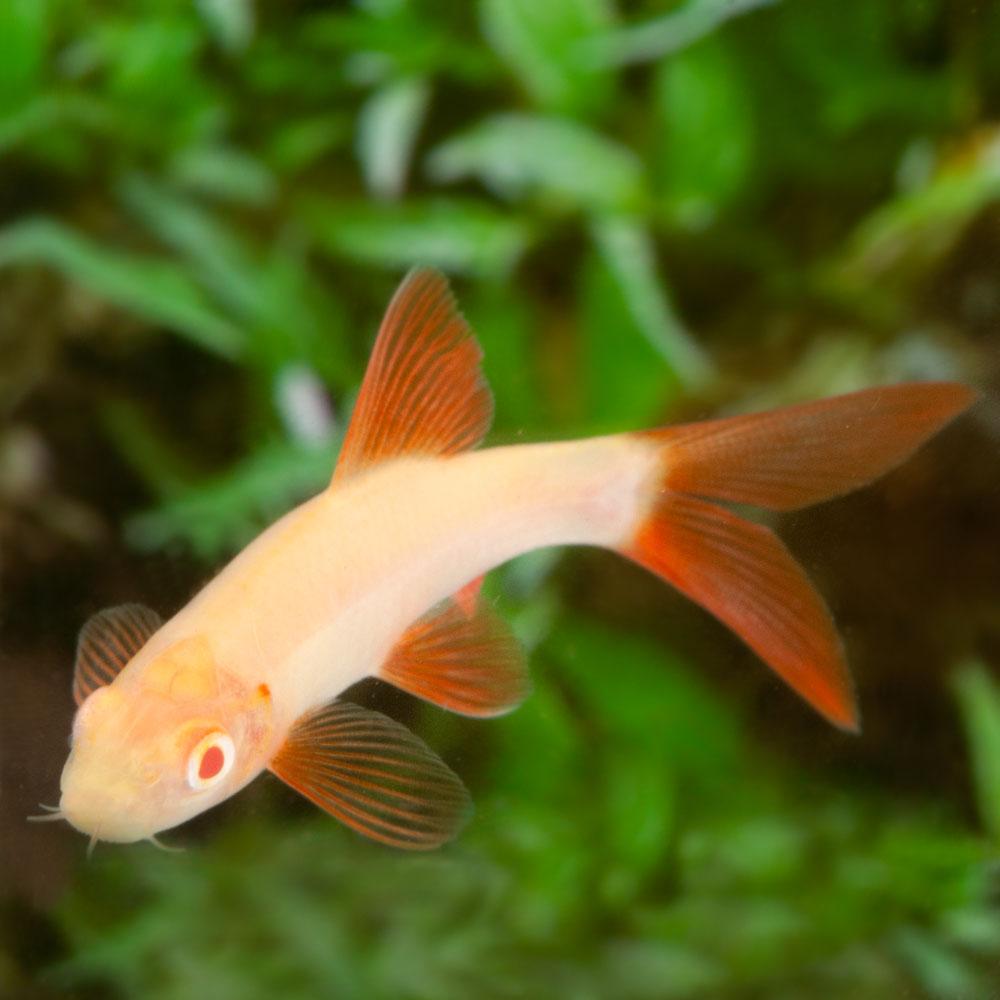 Лабео альбинос
