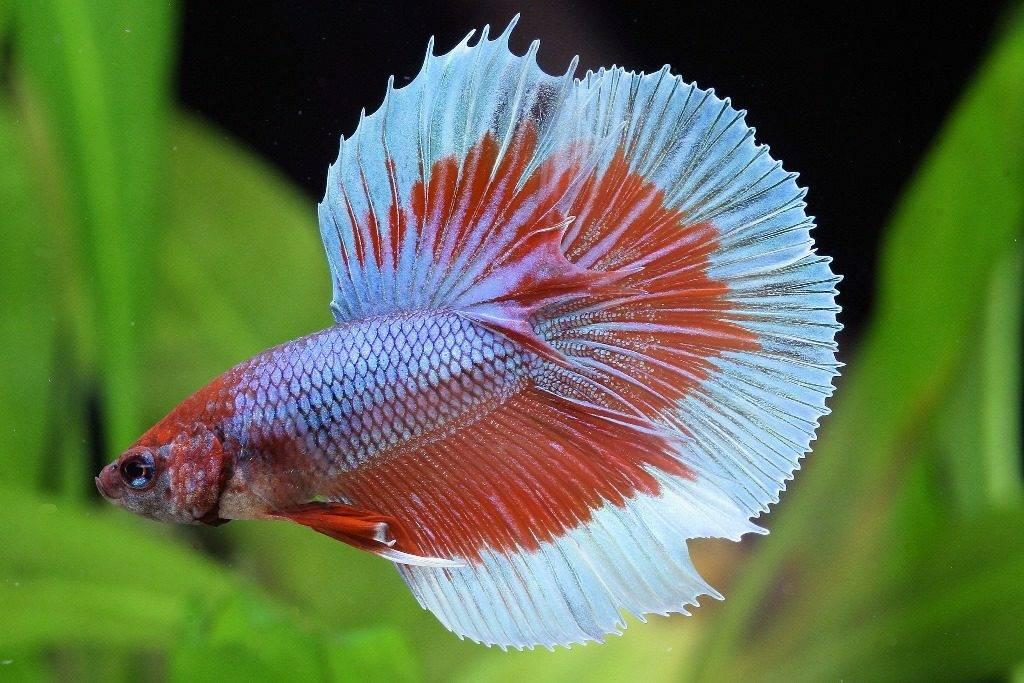 Рыбе петушок