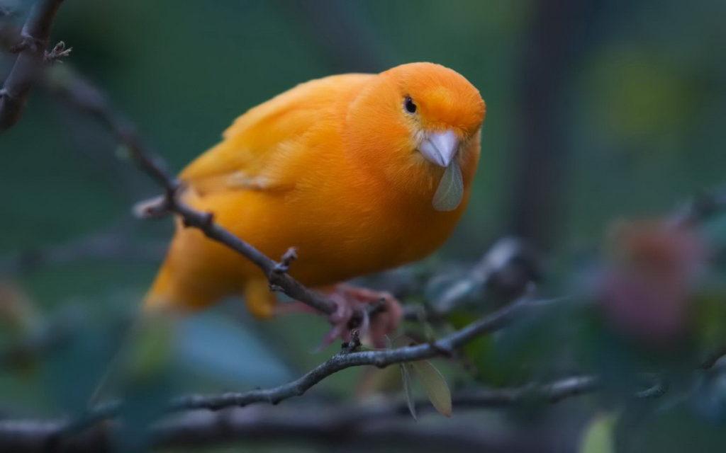 Оранжевая канарейка