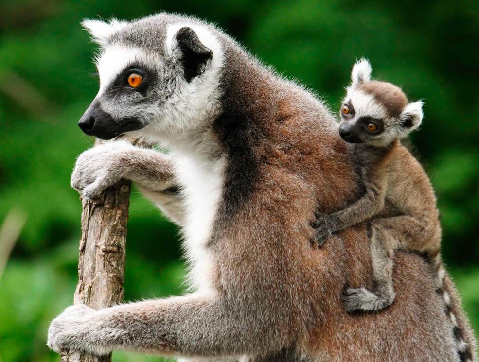 Лемур со своим ребёнком