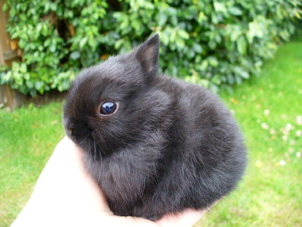Чёрный кролик