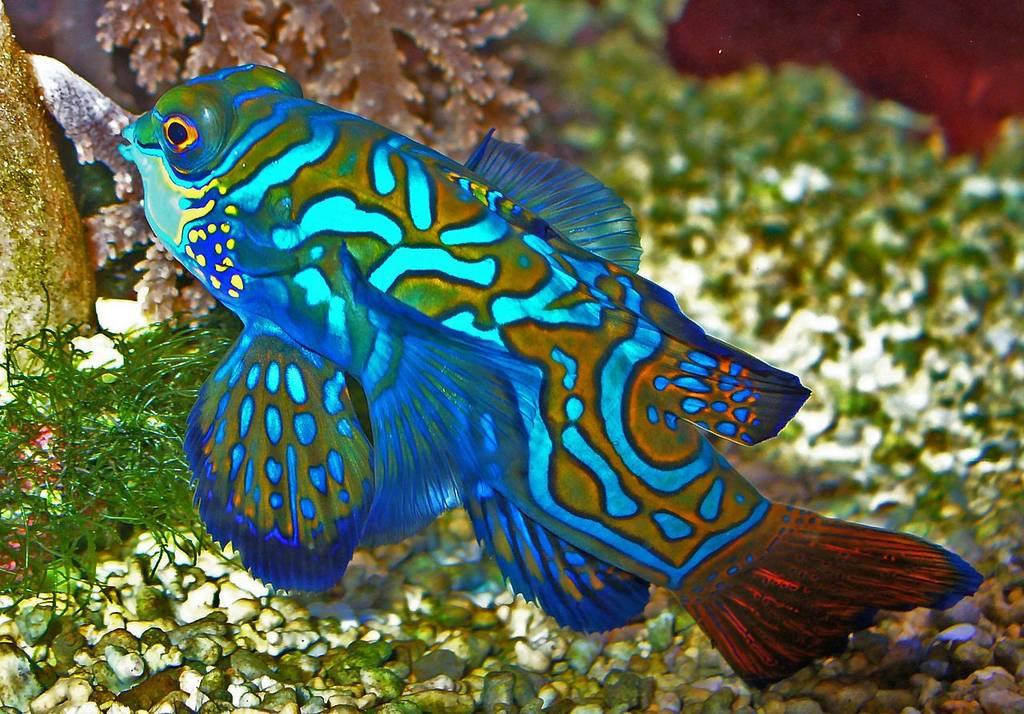 Красивая хищная рыбка