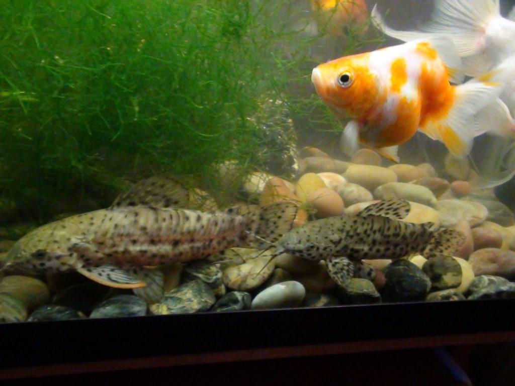Сомы с рыбками
