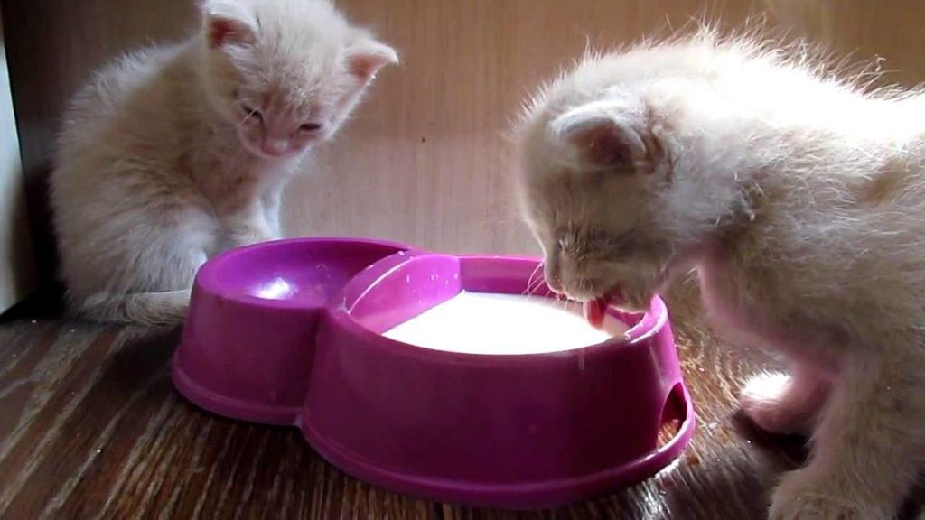Картинки кошка с котенком пьют молоко, для поздравления
