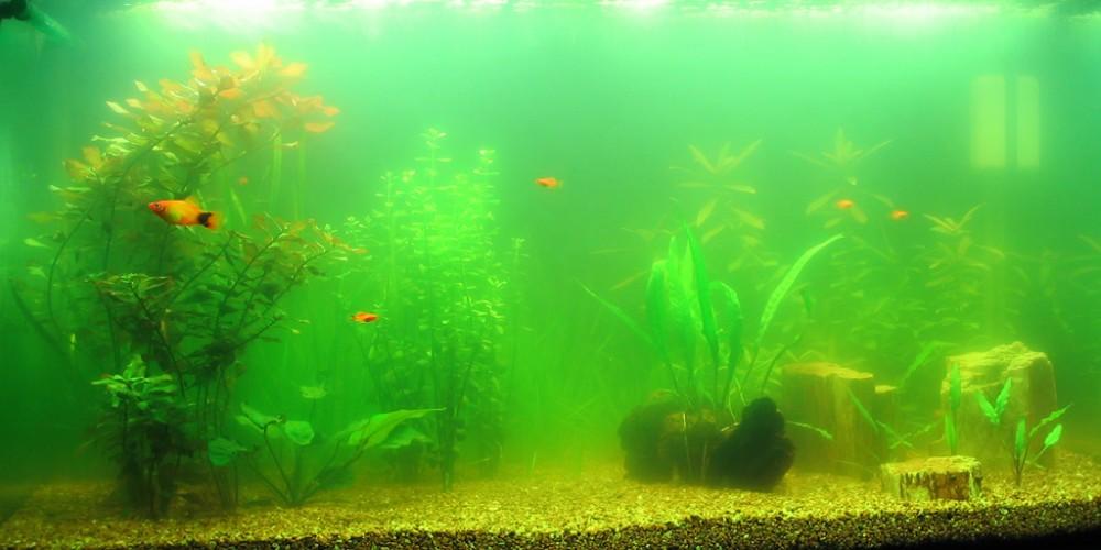 Мутная вода в аквариуме с рыбками