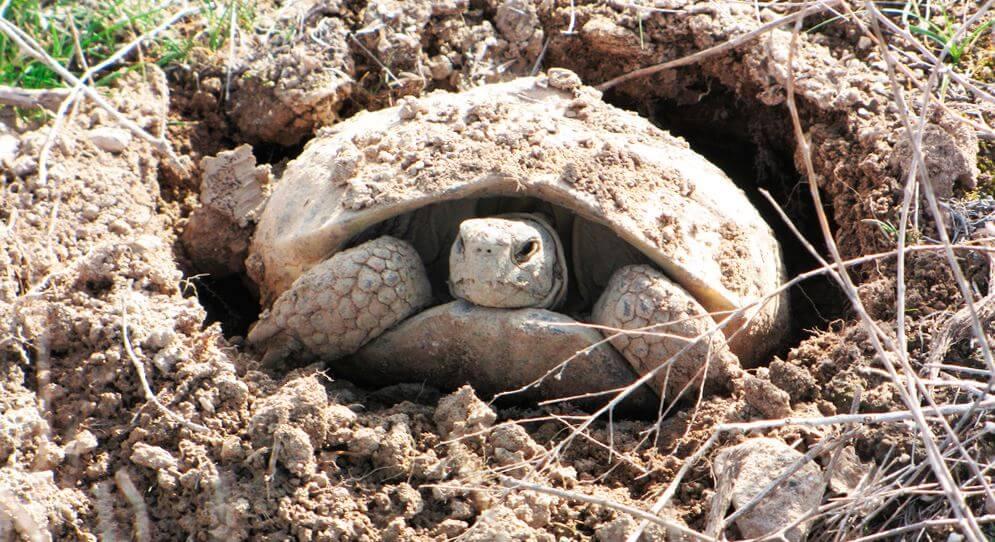 нашей спячка черепах в картинках благородный вид женских