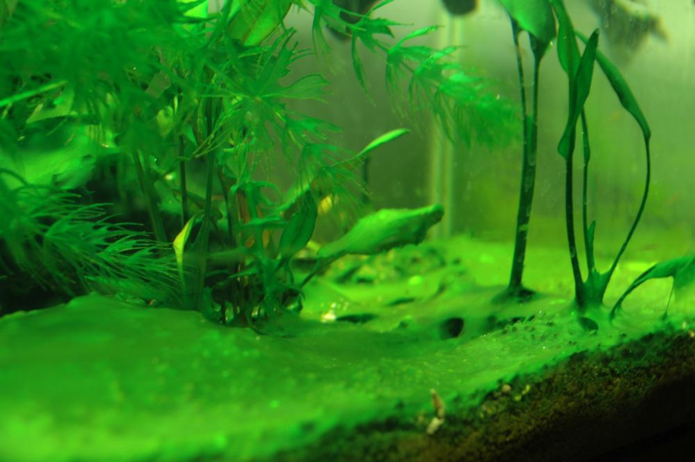Зелёная вода в аквариуме