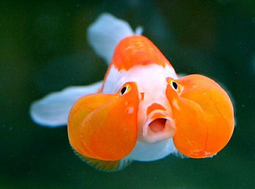 Золотая рыбка пузыреглазка