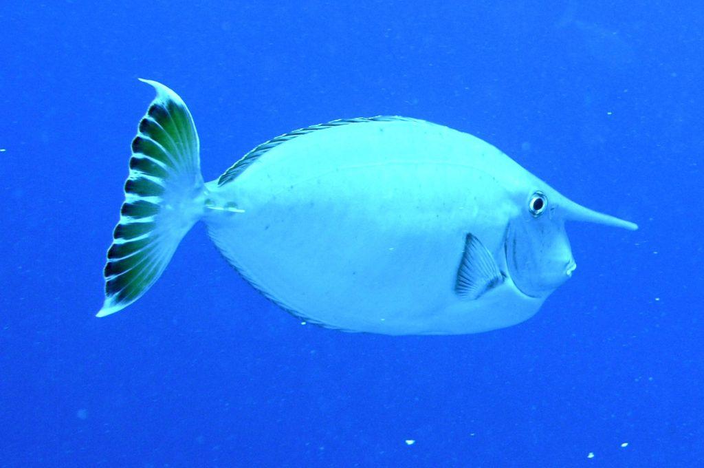 Рыба-единорог