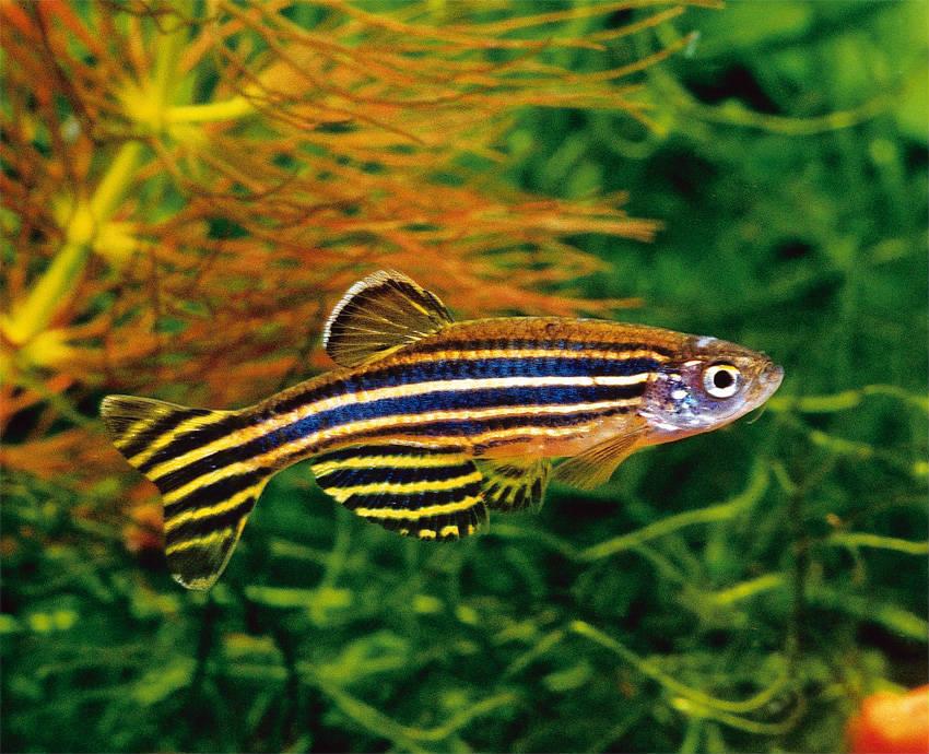 Картинка рыбы данио рерио