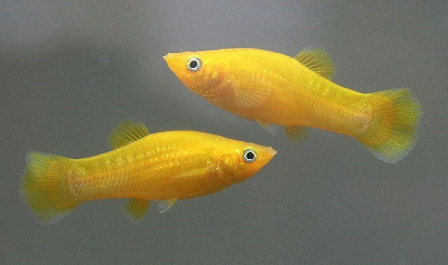 Моллинезия жёлтая