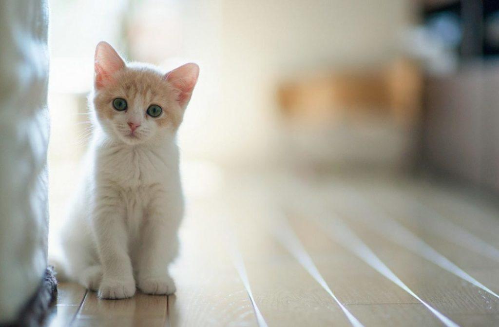 Бело-рыжий котёнок