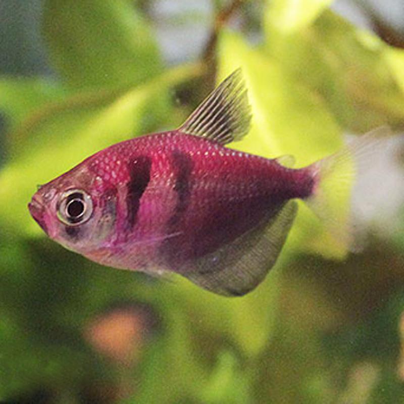 Тернеция GloFish