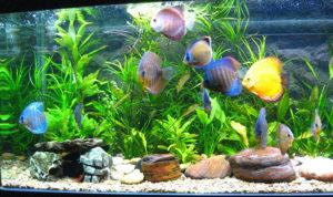 Пецилия: фото аквариумной рыбки, содержание и уход, размножение