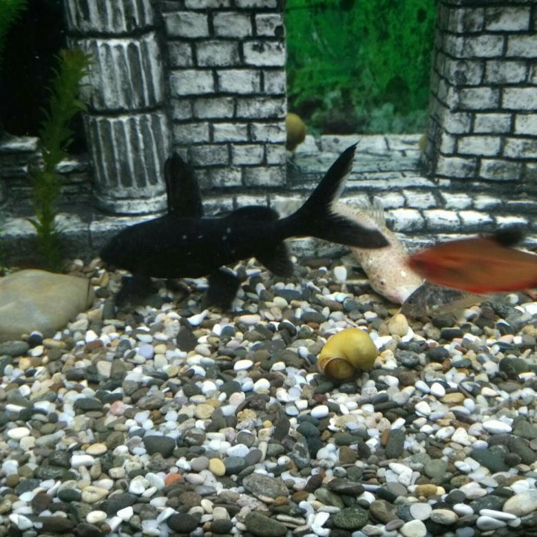 Чёрный багрус