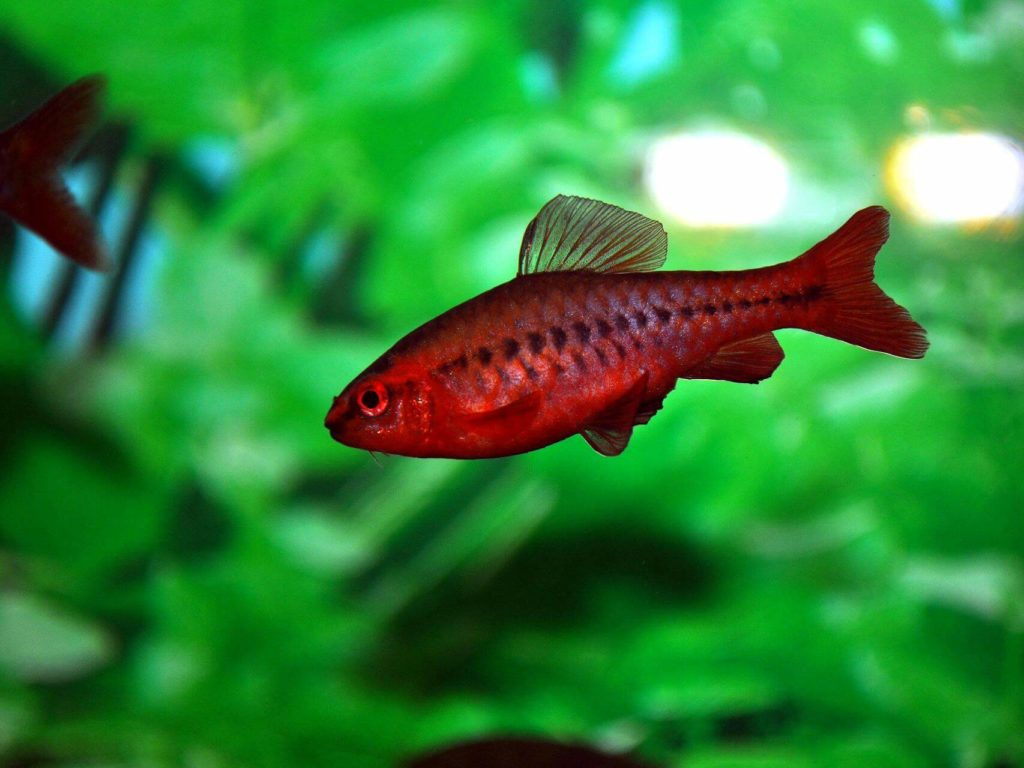 Красный барбус