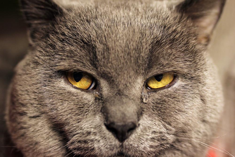 Почему у кота слезиться один глаз что делать thumbnail