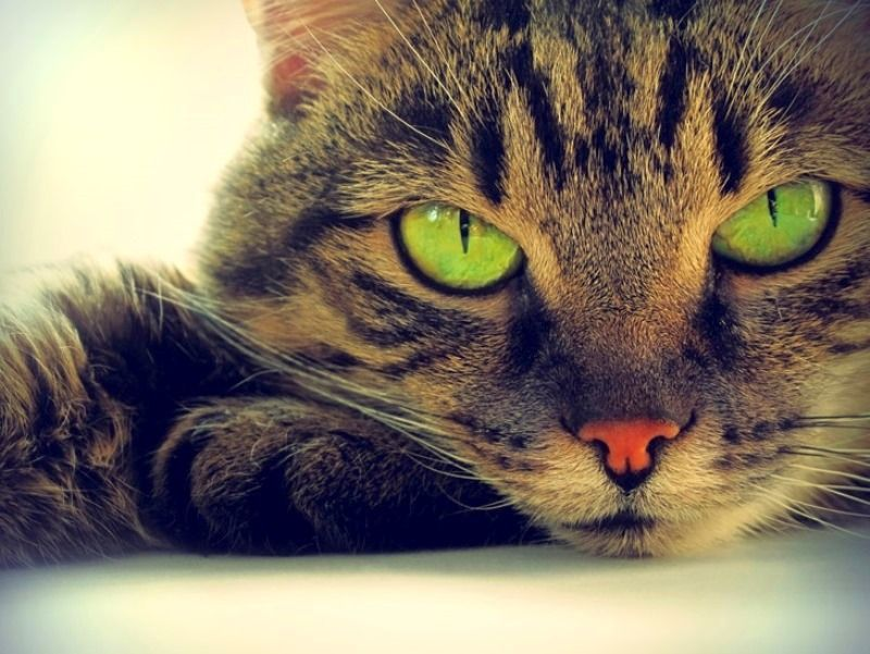 Кошка с суженными зрачками