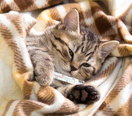 Температура тела у кошек и котов