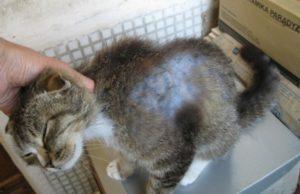 Почему у кота лысеет живот