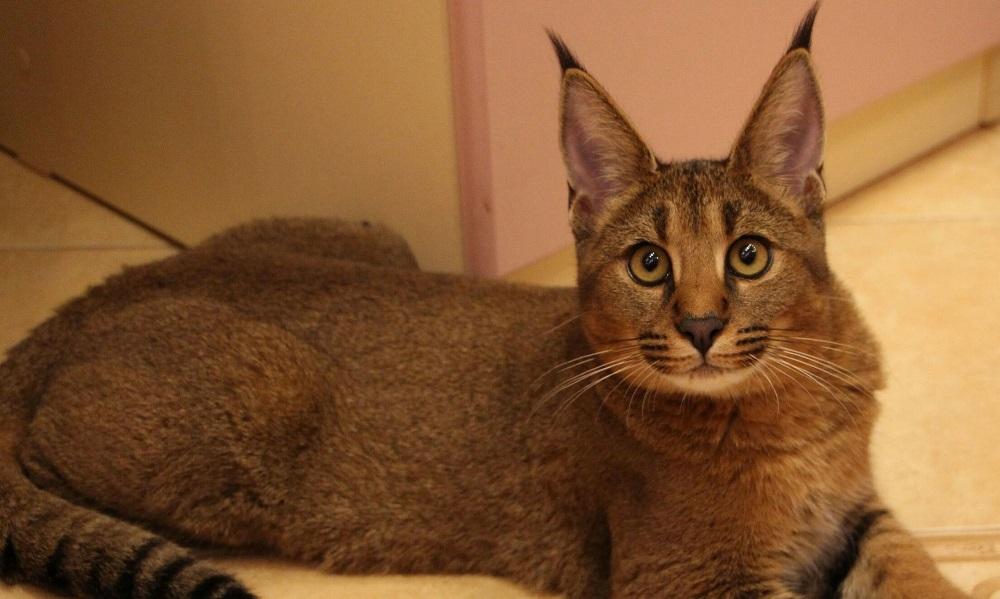 Кошка каракал миниатюрная рысь в домашних условиях