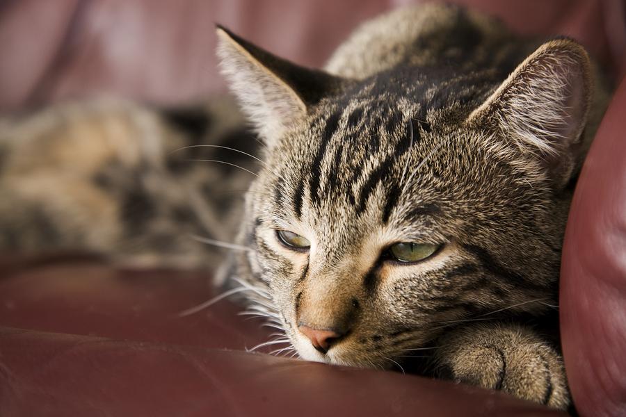 Кошка болеющая диабетом