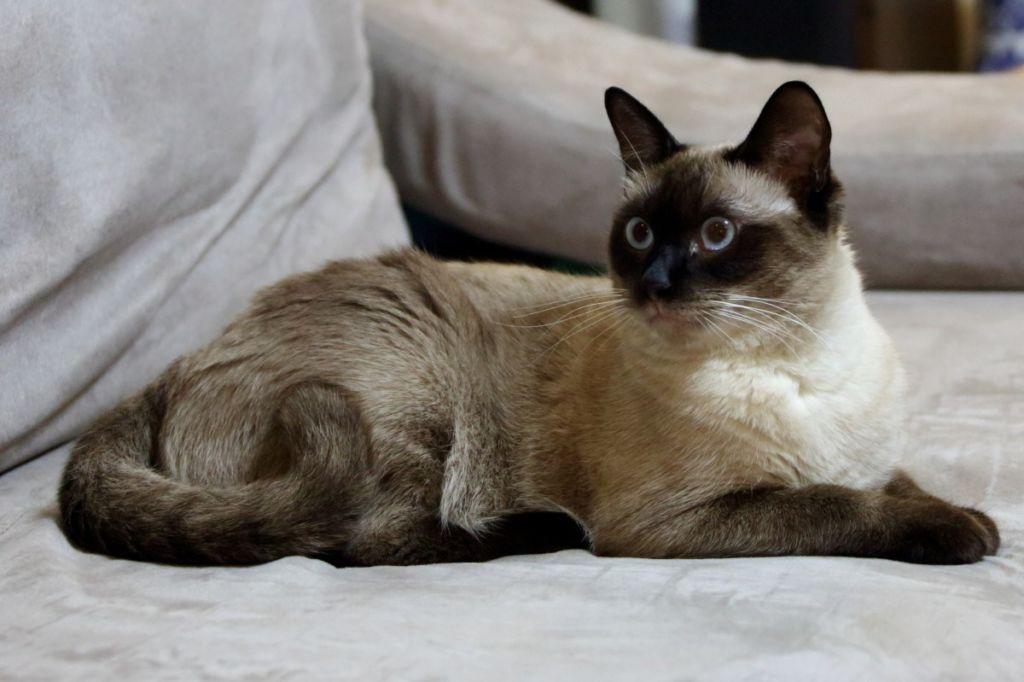 Игривый балинезийский кот