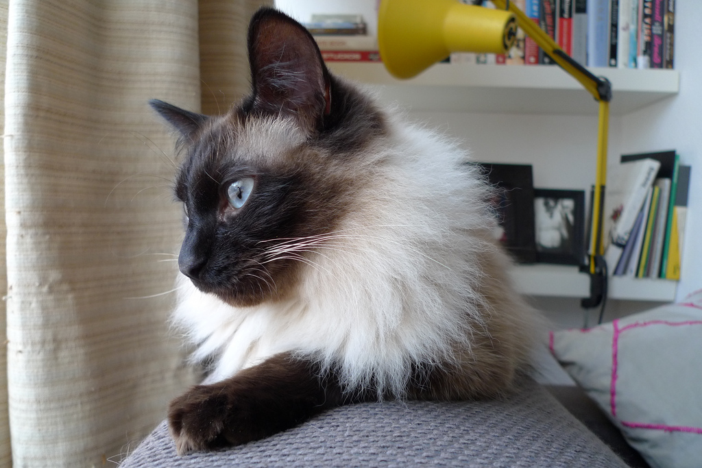Балиезийская кошка