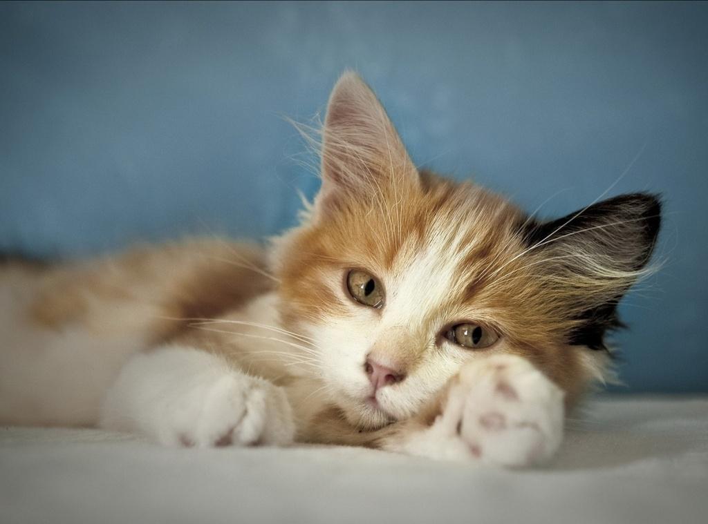 Как улучшить шерсть у кошки; простые советы