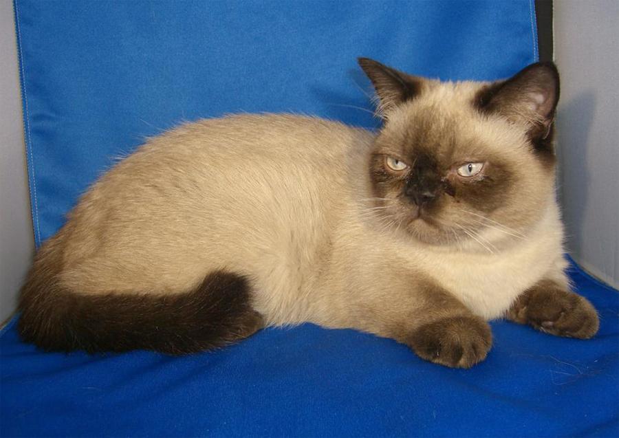 Кошка с короткими лапами