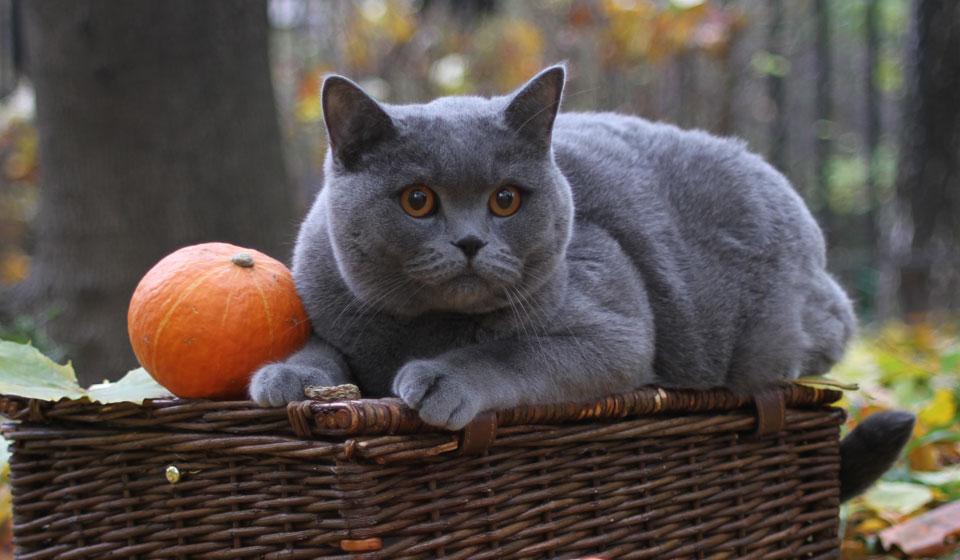 Крупный вид кошек