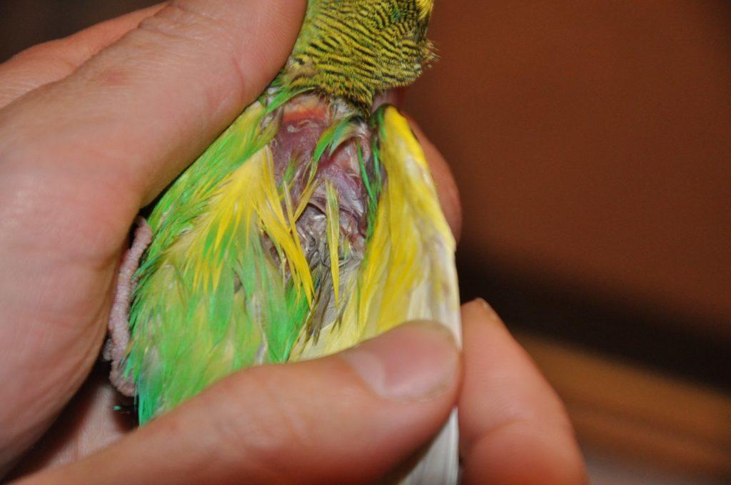 Выпадение перьев