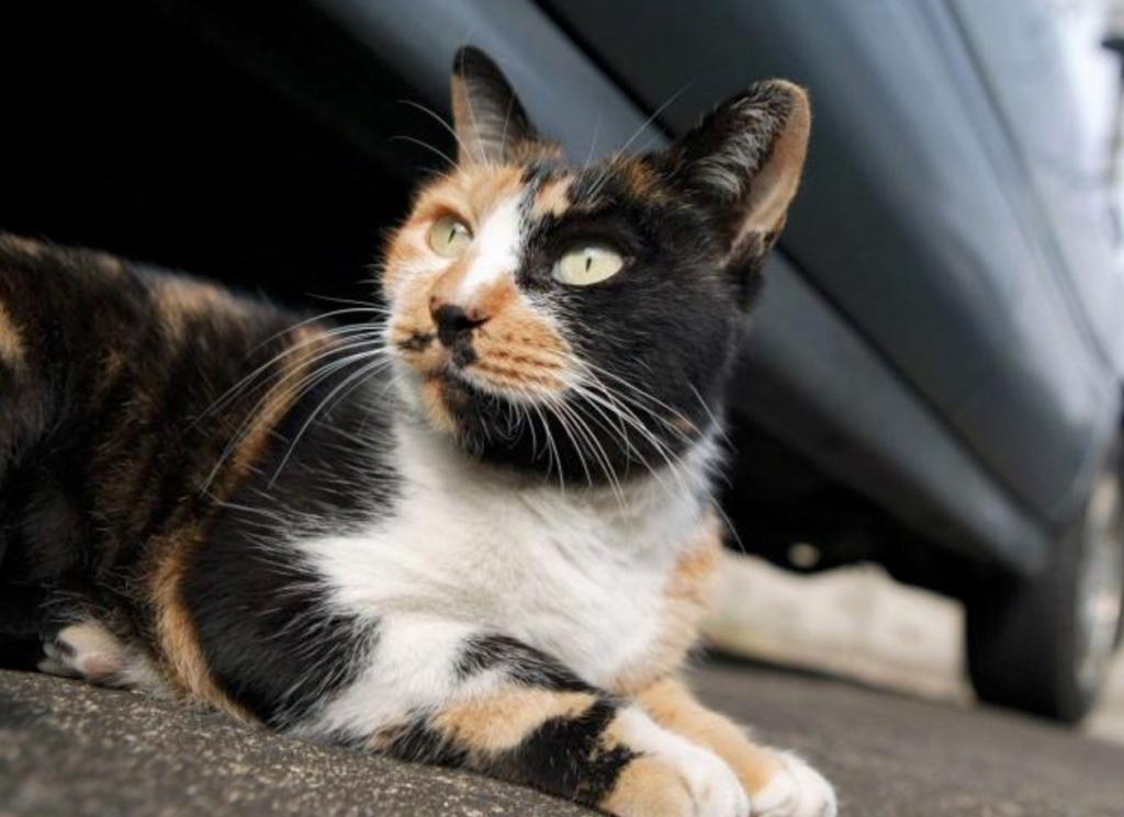 Обзор пород трехцветных кошек (черепаховый окрас), их описание и фото