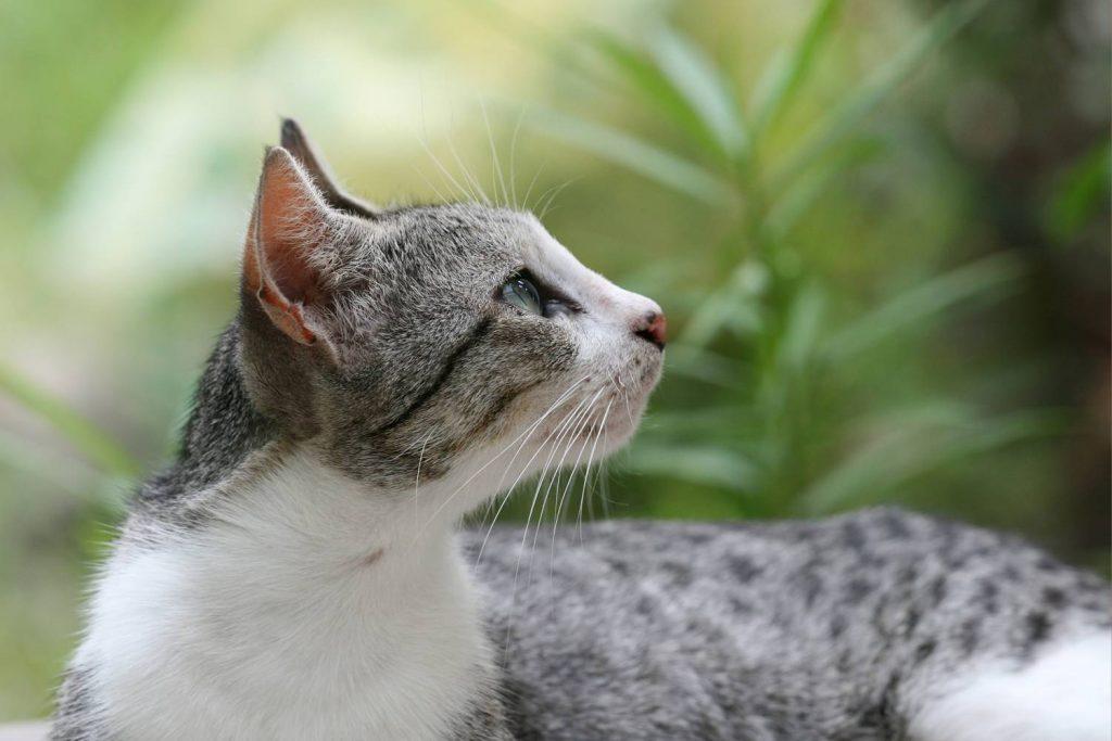Асцит у кошек и его симптомы