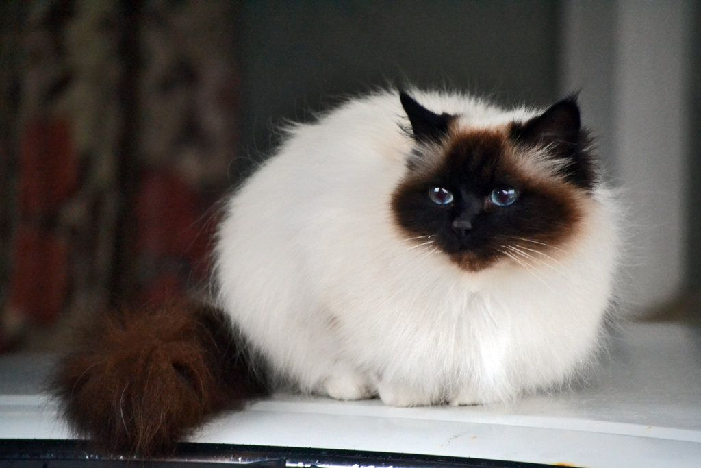 Брат тайской кошки