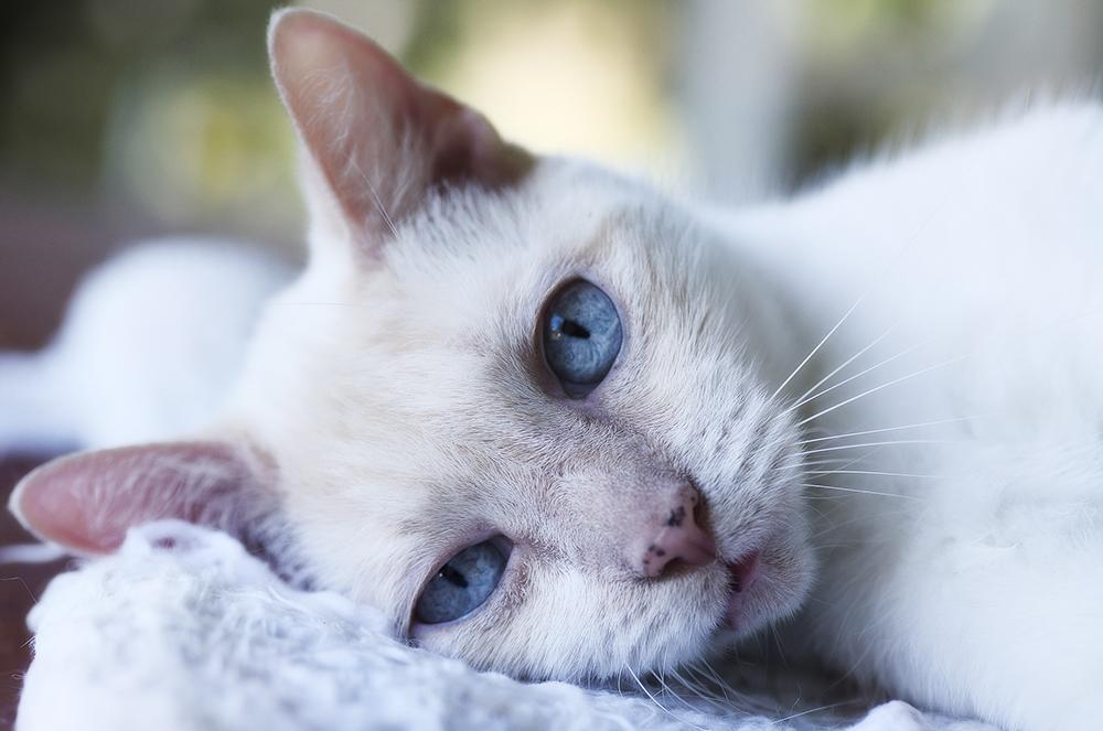 Рак молочной железы у кошек лечение